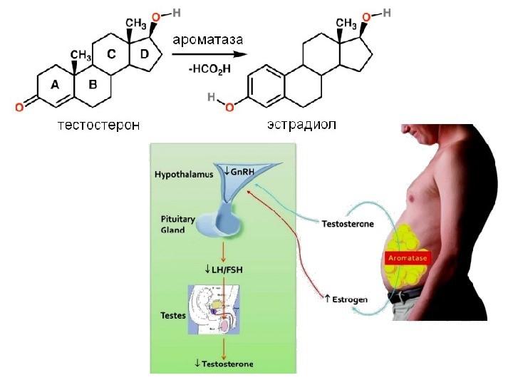 Трансформация тестостерона в женский гормон, происходящая в жировой ткани