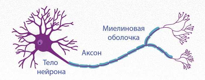 Тело нейрона