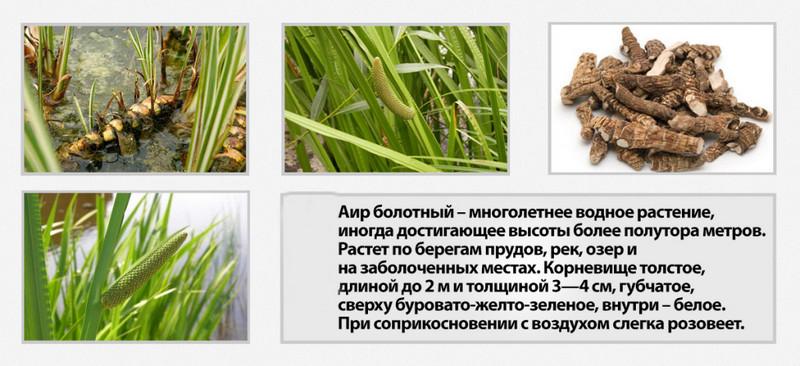 Как выглядит и где растет аир болотный